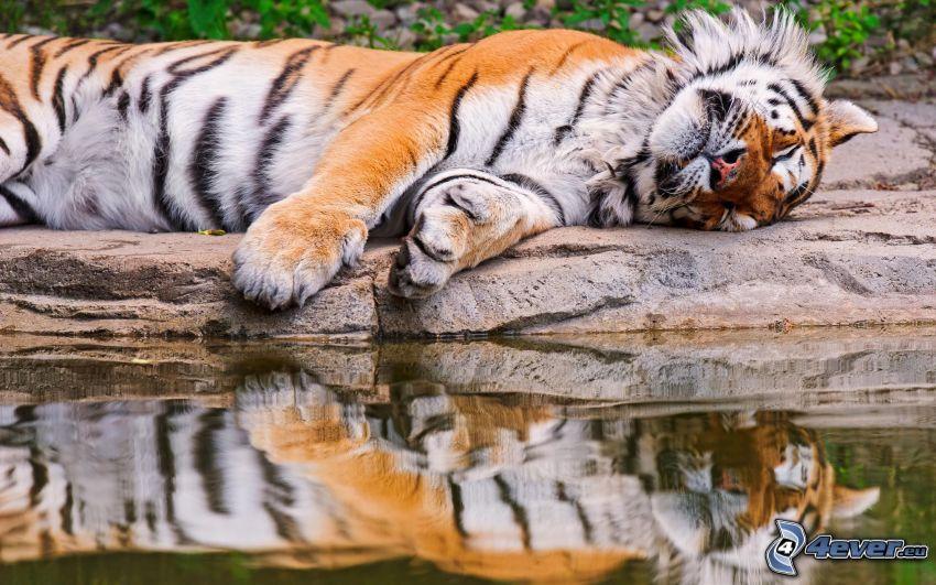 tygrys, spanie, kamień, woda, odbicie, wygoda