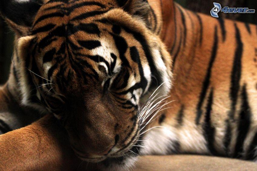 tygrys, spanie