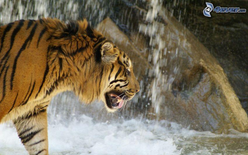 tygrys, wodospad