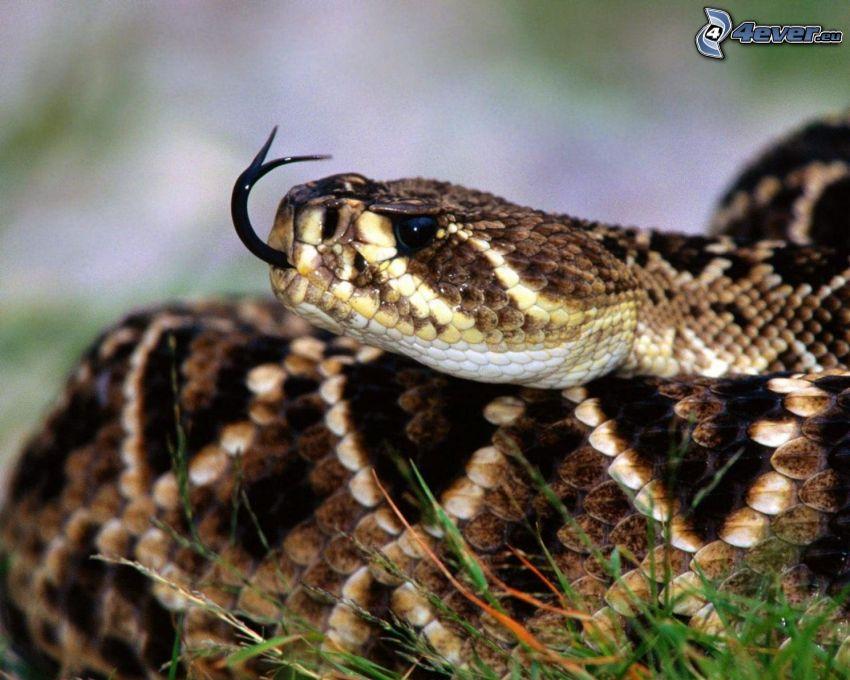 wąż, język, trawa
