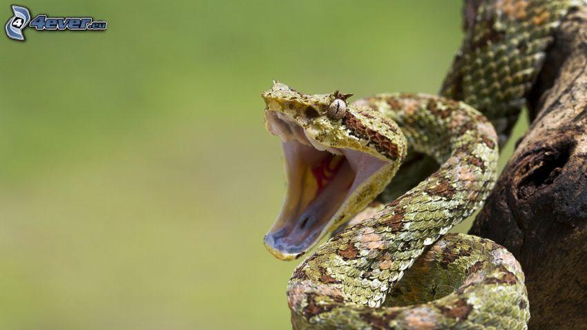 wąż, paszcza