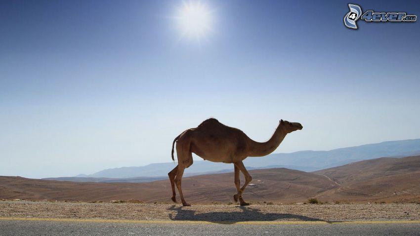 wielbłąd, słońce, widok na krajobraz