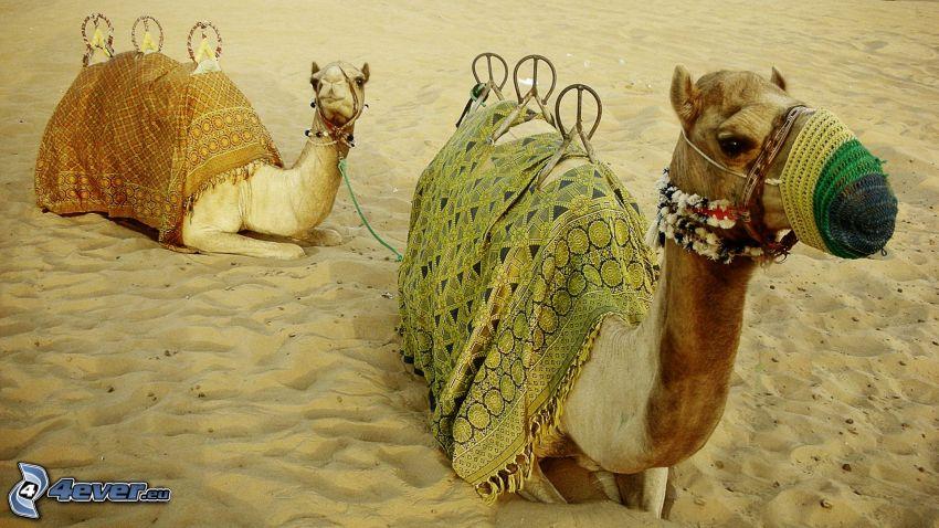 wielbłądy, piasek