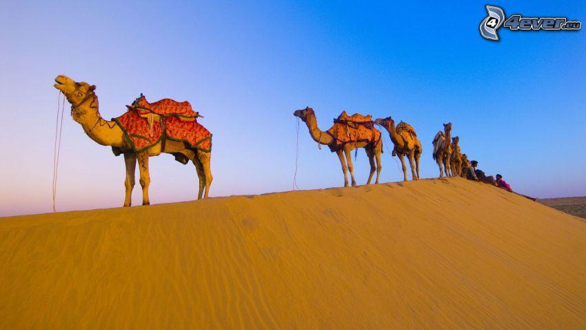 wielbłądy, pustynia