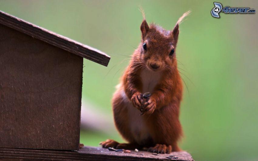 wiewiórka, budka dla ptaków