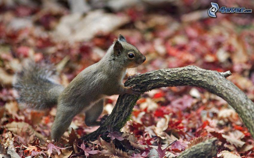 wiewiórka, drewno, opadnięte liście