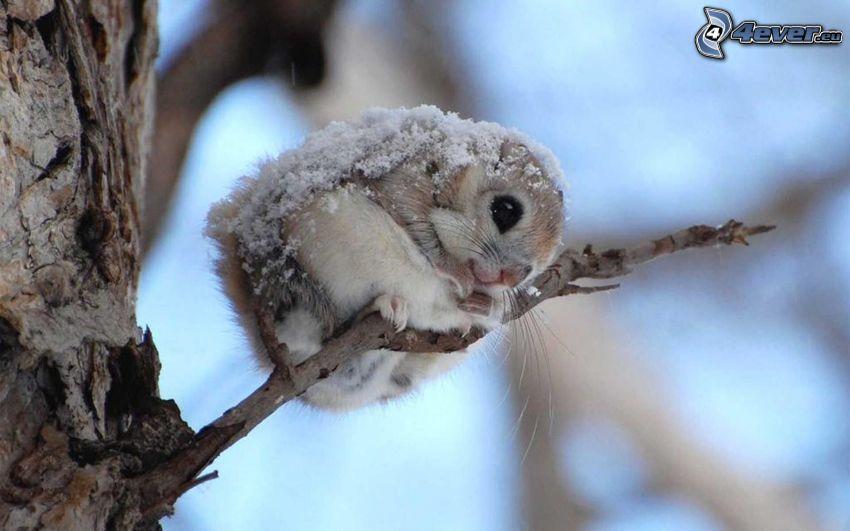 wiewiórka, gałąź, śnieg