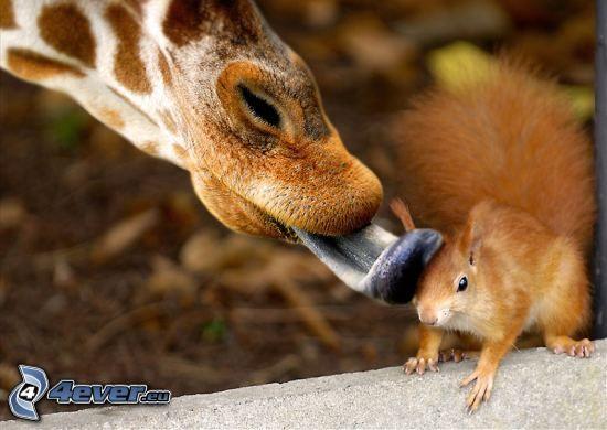 wiewiórka, język, żyrafa