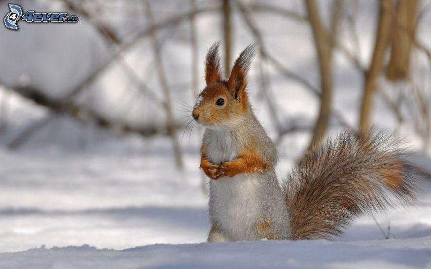 wiewiórka na, śniegu