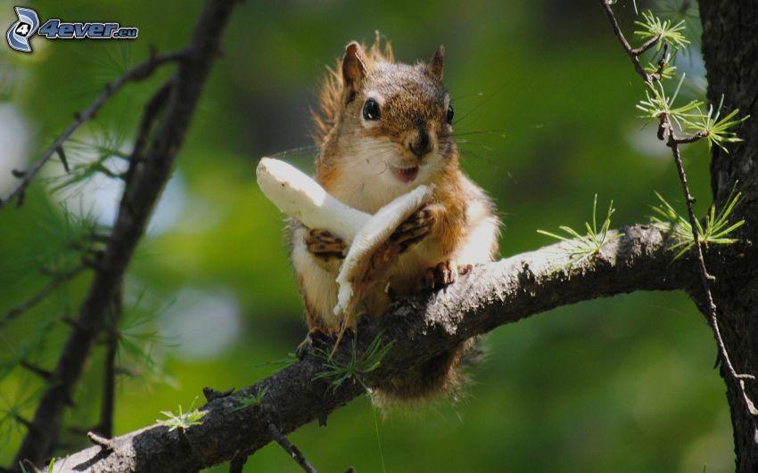 wiewiórka na drzewie, grzyb