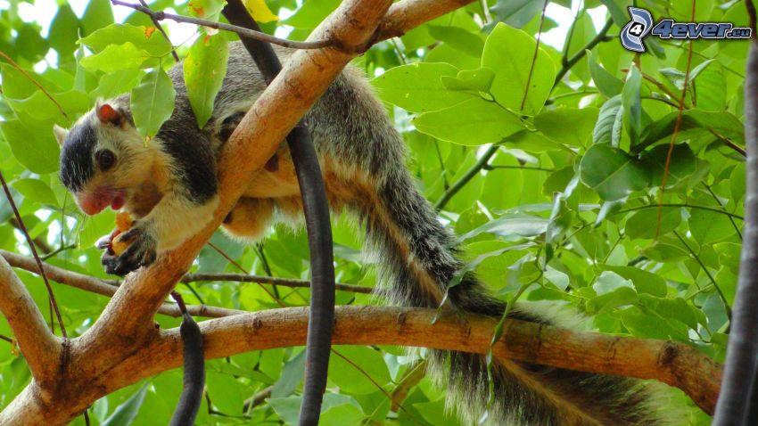 wiewiórka na drzewie, pokarm, konar, liście