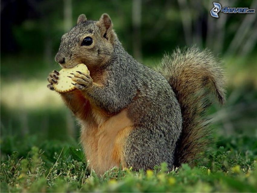 wiewiórka na trawie, ciastko