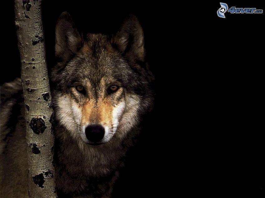 wilk, ciemność, brzoza