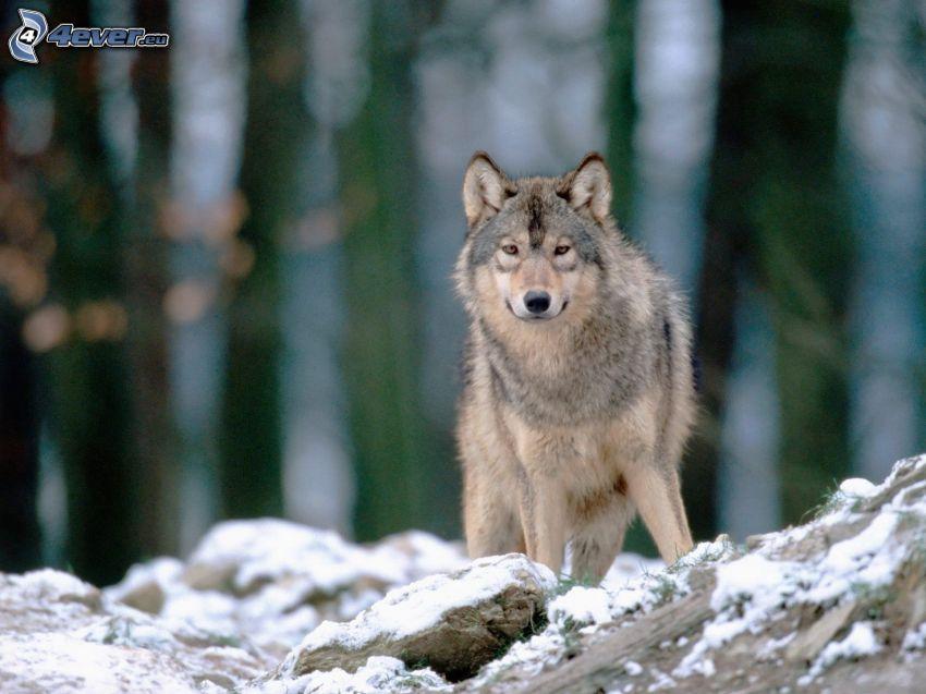 wilk, kamień, śnieg