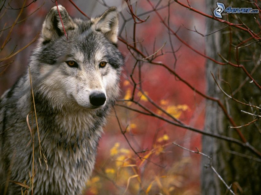 wilk, kolorowy jesienny las, konary
