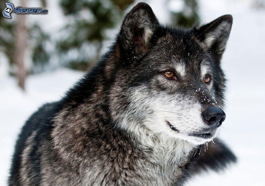 wilk, śnieg