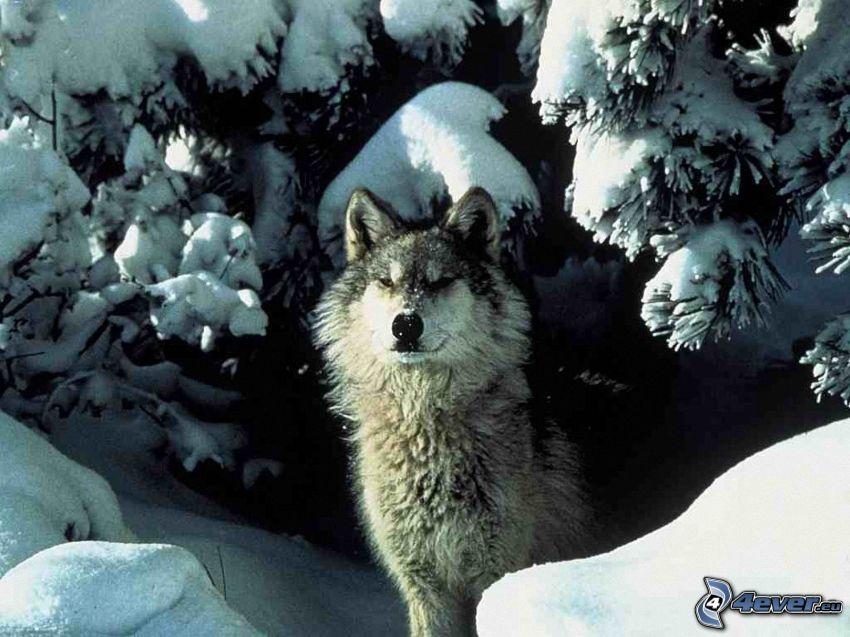 wilk w zimie, ośnieżone drzewa, las iglasty, śnieg