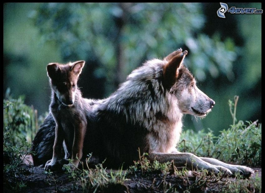 wilk z wilczątkiem, wilczątko, dzicz