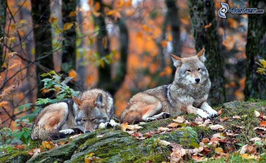 wilki, opadnięte liście, skała