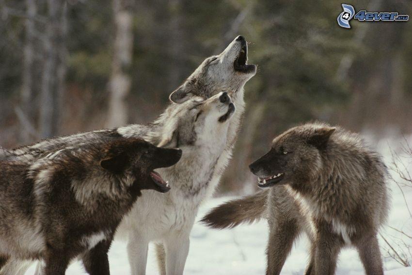 wilki, skomlenie, śnieg