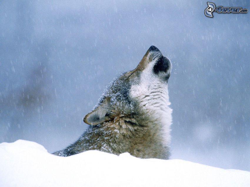 wyjący wilk, śnieg, zima