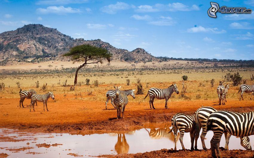 zebry, kałuża, wzgórze, safari