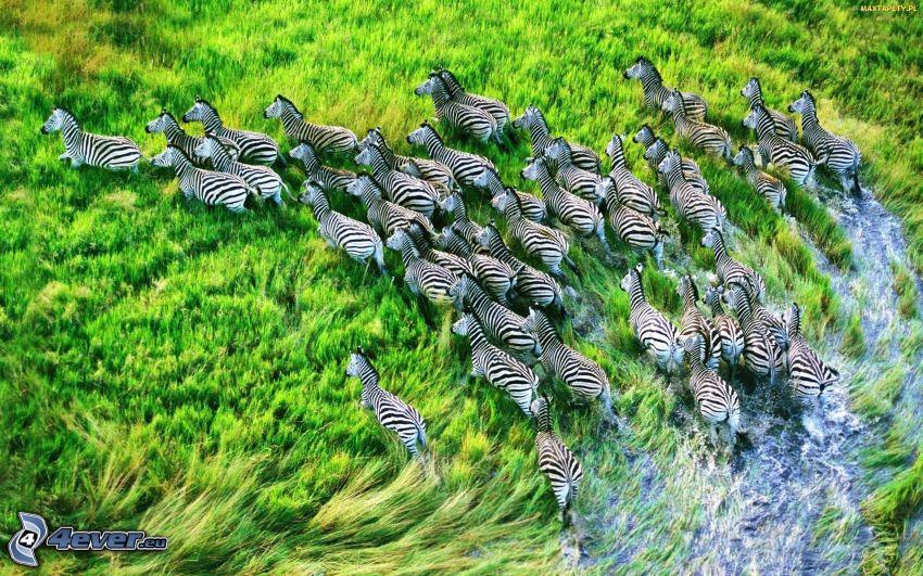 zebry, trawa, woda, stado zwierząt