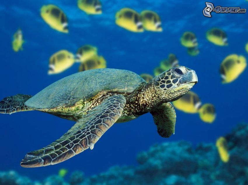 żółw, woda, morze