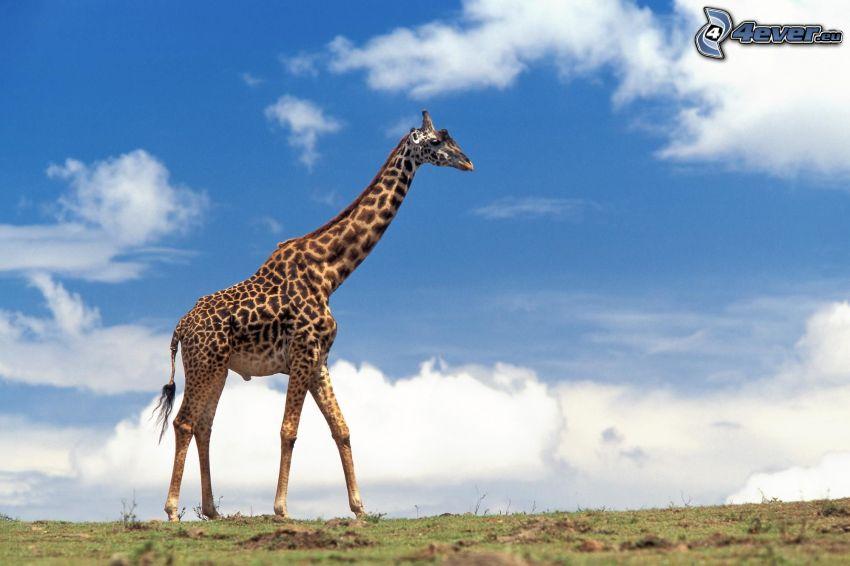 żyrafa, chmury