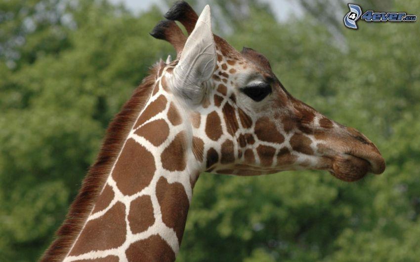 żyrafa, głowa
