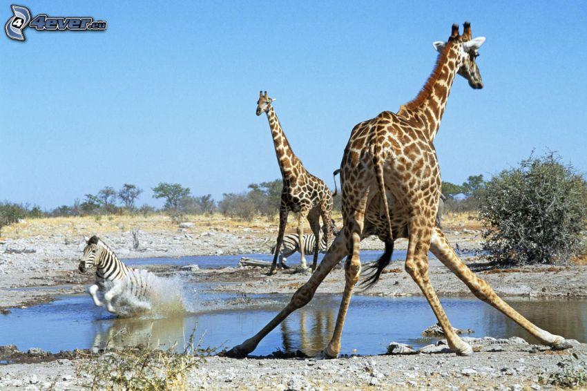 żyrafa, kałuża, pustynia, niebo, zebra