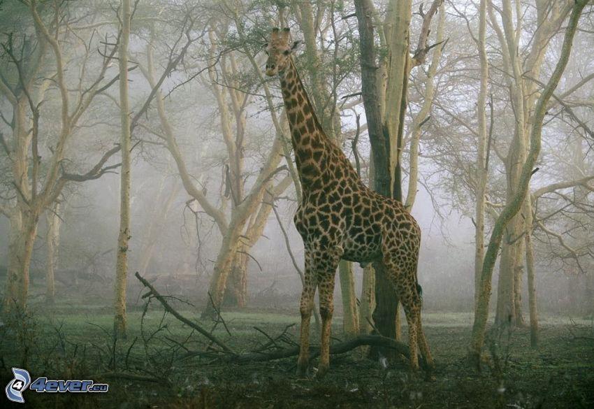 żyrafa, las
