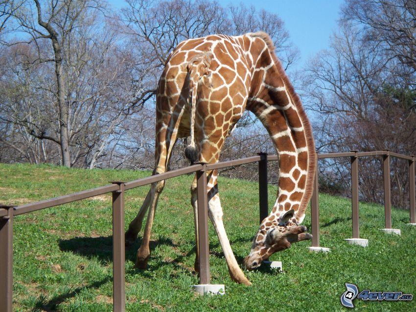 żyrafa, płot