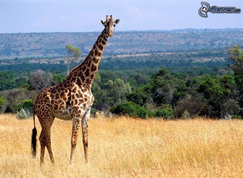 żyrafa, sucha trawa, widok na krajobraz