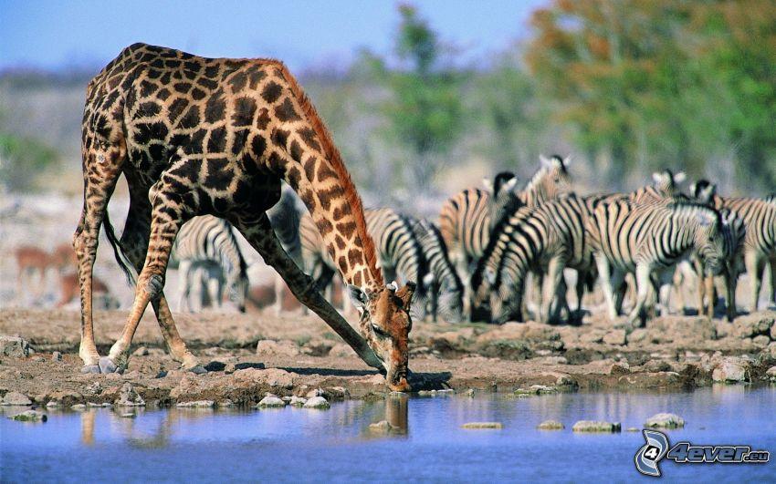 żyrafa, zebry
