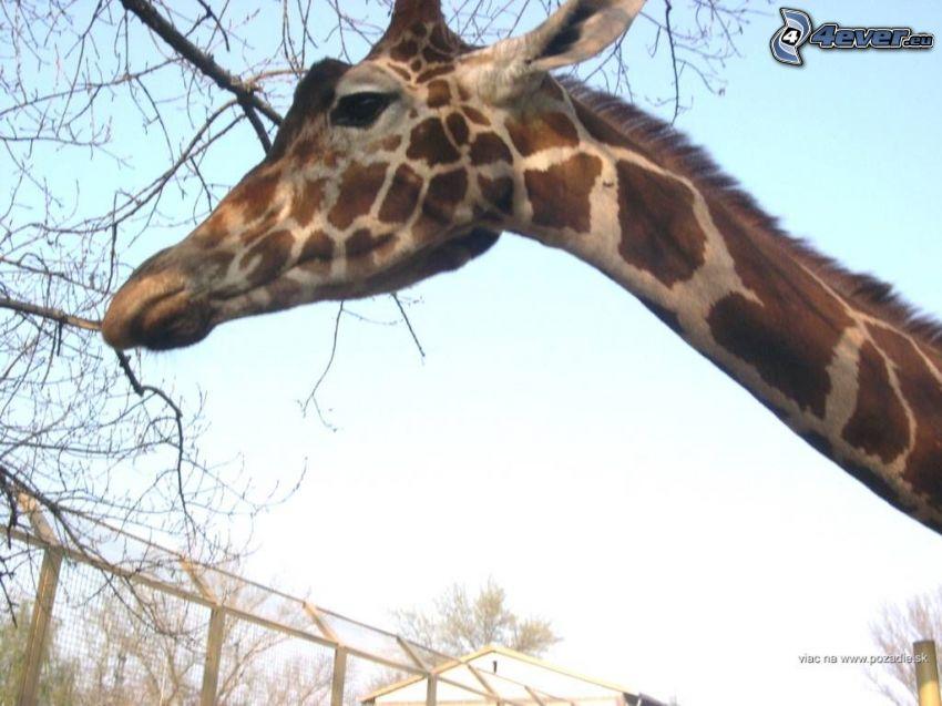 żyrafa, ZOO