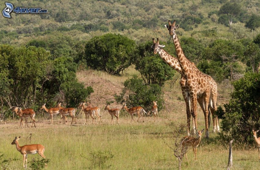 Żyrafy, antylopy