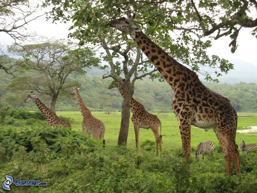 Żyrafy, drzewa
