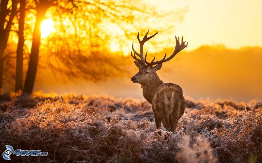 jeleń, zachód słońca, sylwetka drzewa