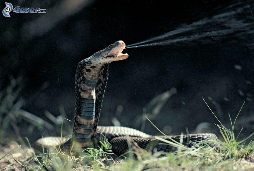kobra, trawa