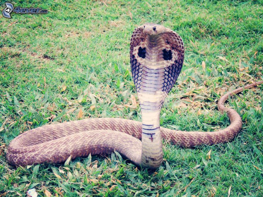 kobra, trawnik