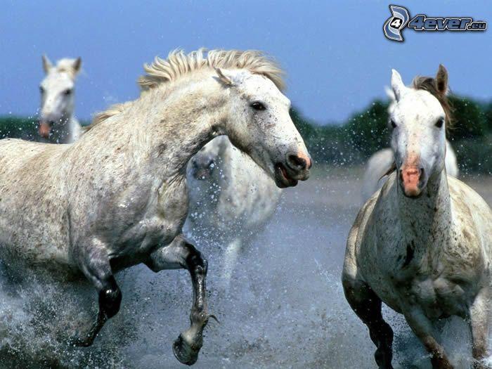 białe konie, bieg, krople