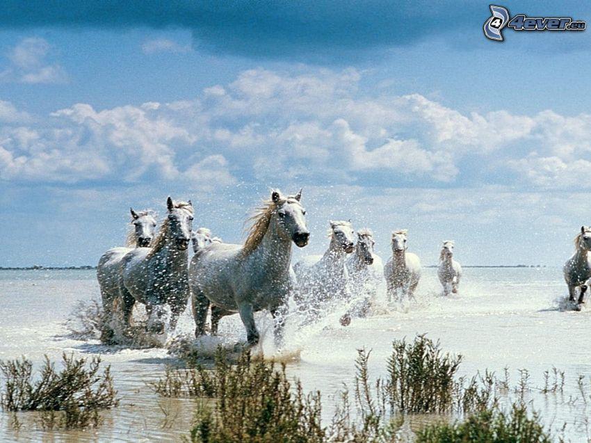 białe konie, woda, bieg, rośliny