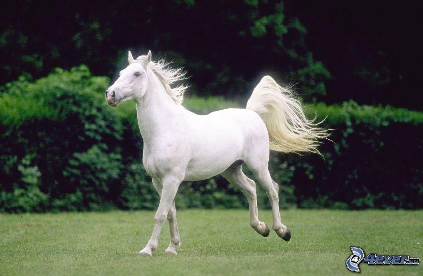 biały koń, galop