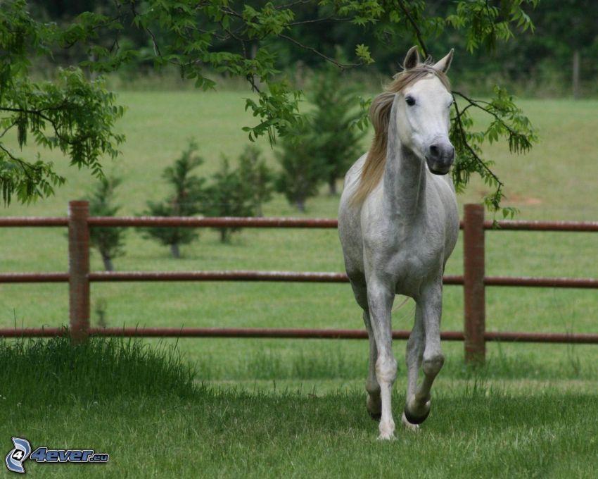 biały koń, ogrodzenie, trawa