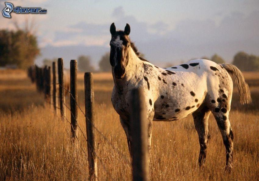 biały koń, ogrodzenie