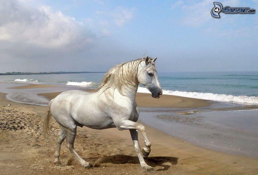 biały koń, plaża piaszczysta, morze
