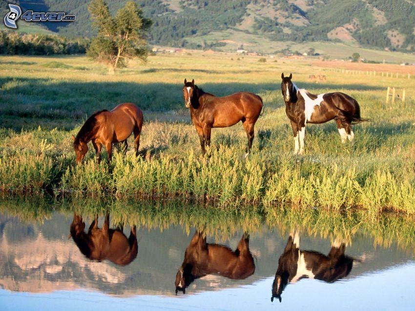 brązowe konie, jeziorko, odbicie