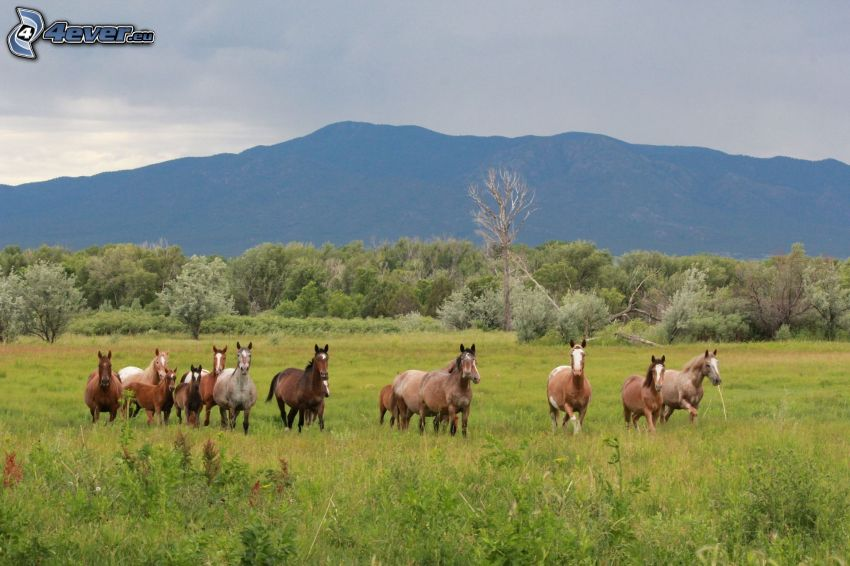 brązowe konie, łąka, las, pasmo górskie
