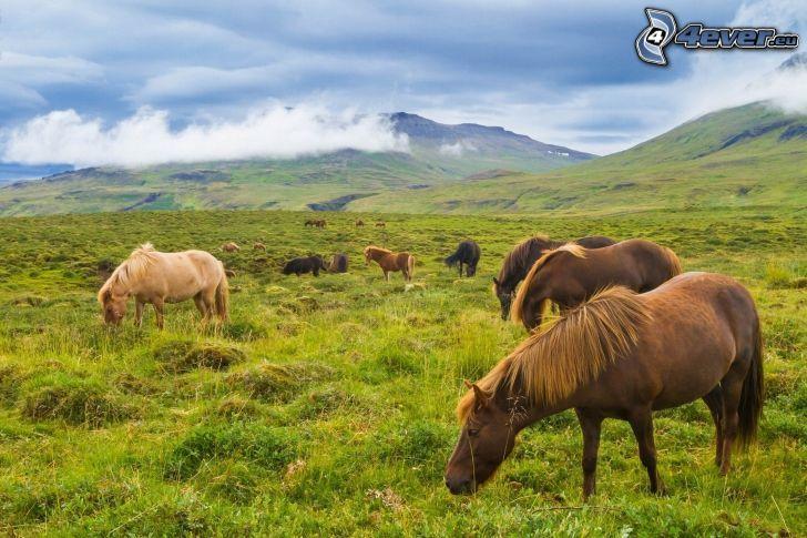 brązowe konie, łąka, wzgórza